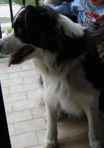 Archie il border collie