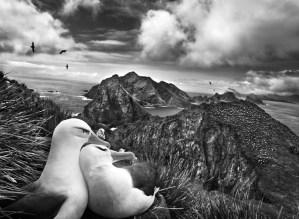 Sebastião Salgado Genesi: colonia di albatri dal sopracciglio nero, sulle Willis Islands, Georgia del Sud, novembre dicembre 2009