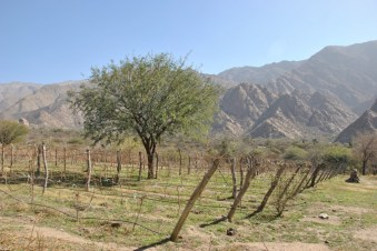Organic vineyards during a Calchaqui Valleys tour in Argentina