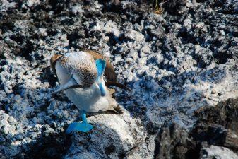 Bluefootboobies in Punta Moreno, Galapagos Islands, Ecuador tour