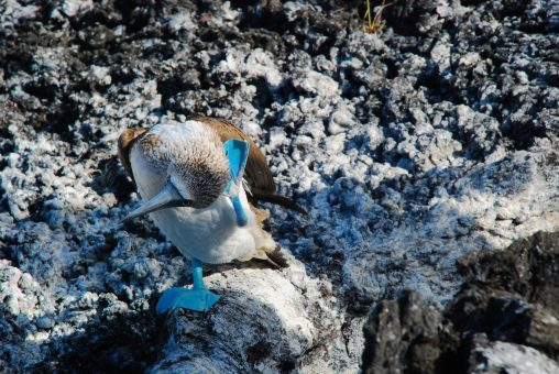 Bluefootboobies in Punta Moreno, Galapagos Islands, Ecuador tour
