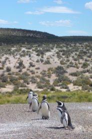 Maguellan Penguins in Punta Tombo, near Trelew, Patagonia Argentina