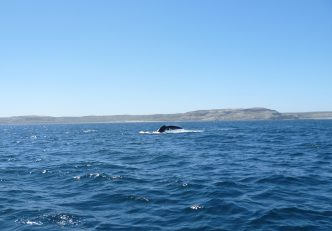 Whale-watching in Peninsula Valdes, near Puerto Madryn, Patagonia Argentina