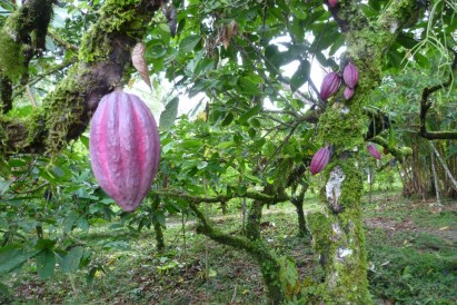 Cacao harvesting with the Brirbi people in Yorkin, Costa Rica