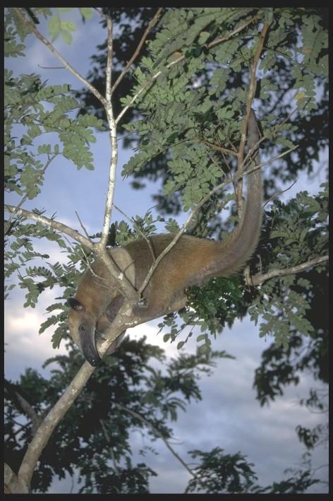 Tapir, Amazon, Brazil