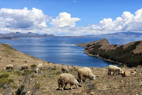 Sheep grazing on the island