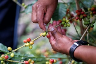 The delicate process of picking those all important coffee beans shown to us in Peru