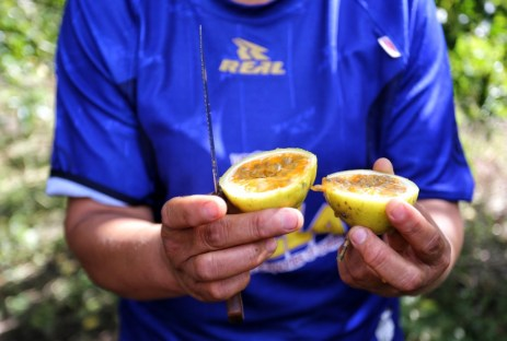 Succulent wild passion fruit fresh from the garden in Cuzco, Peru