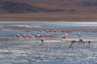 Flamingos on the Andes Plateau, Bolivia