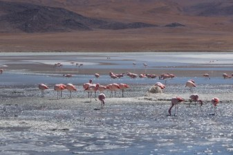 Flamingos on the Andes Plateau, Bolivia