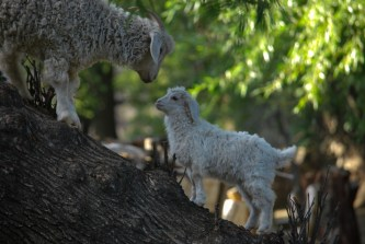 Goats in the rural homestay in Argentina have adapted to climb trees