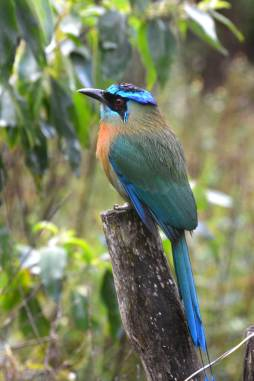 A Blue-crowned Motmot showing its colours in the Monteverde National Park, Costa Rica