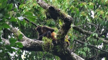 A female Mantled Howler monkey in the trees while spotting wildlife in Costa Rica