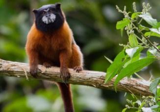 A Brown-mantled tamarin near the Yasuni Kichwa Ecolodge in the Amazon, Ecuador