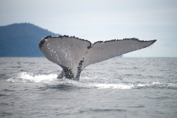 A humpback whale shows its tale while whale-watching in Colombia