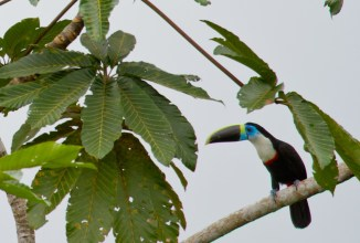 A beautiful channel-billed toucan in Yasuni National Park, Ecuador
