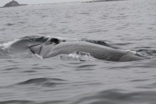 A whale taking a breath before submerging in Chile