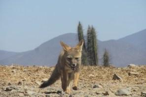 Atacama Desert Fox walking around in Chile