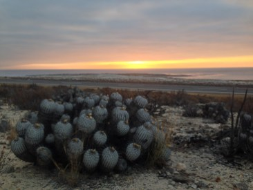 Cacti in the Oasis of Totoral accompanied by a beautiful sunset, Chile