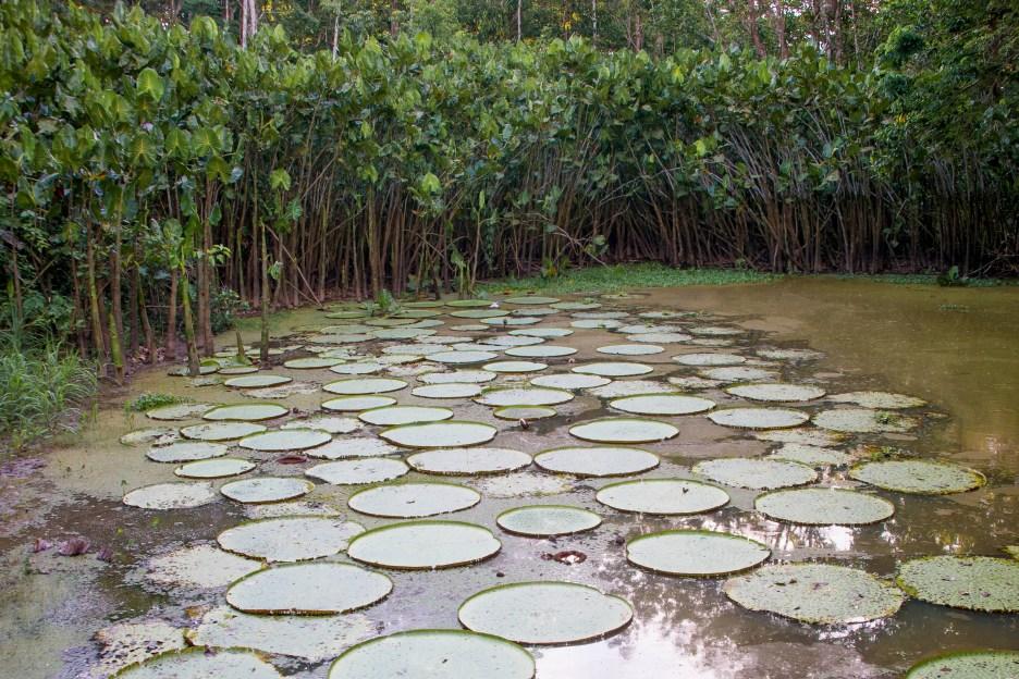 Giant Victoria amazonica lilies in the Victoria Regia Nature Reserve, Amazon Jungle, Colombia
