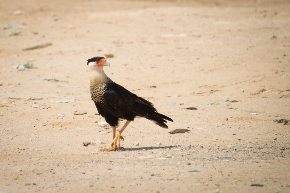 Stunning northern crested caracara on the dry soil of La Guajira, Colombia