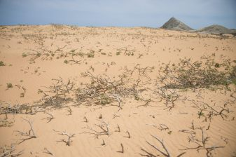 Roots surviving in the harsh conditions of La Guajira, Colombia