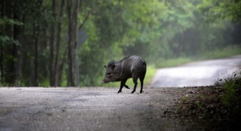 A Collared Peccari on the road to Calakmul, Mexico