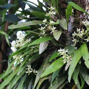 Wild orchids, the national flower of Costa Rica