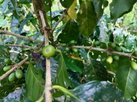 Green coffee beans waiting to ripen for harvest at the Finca Sura farm, Costa Rica