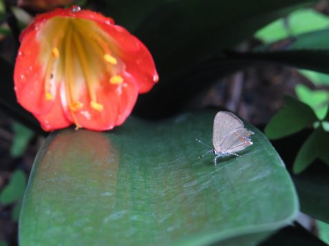 One of the many species of butterflies found on the Xandari property, Costa Rica