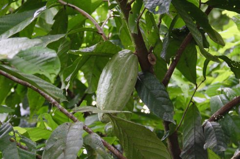 Unripe cacao buds hanging from the tree trunk in Finca Sura, Costa Rica