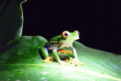 Frog watching at night in Finca Sura, Costa Rica