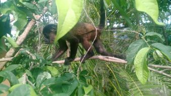 A recovering monkey at SIBU Wildlife Sanctuary in Nosara. (Photo by Mike K)