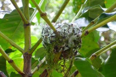A hummingbird nest hidden in a coffee plant at Finca Rosa Blanca in Costa Rica