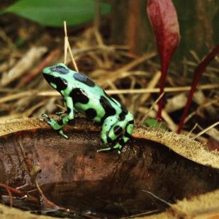 Frog watching (Venenosa Verdinegra) in Bocas del Toro, Panama