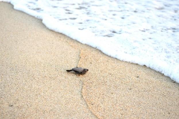 A little turtle makes it into the sea in Oaxaca, Mexico
