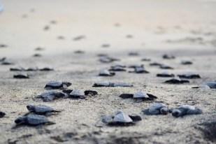 Helping new born turtles in Ventanilla beach near Puerto Escondido, Mexico