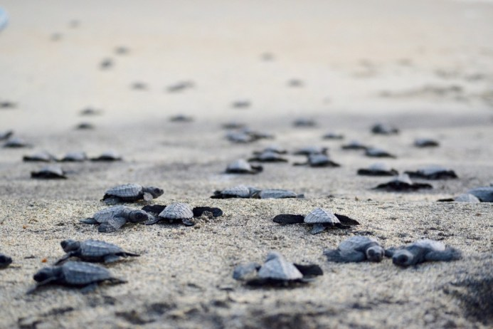 Helping new born turtles in Ventanilla beach near Puerto Escondido, Mexico