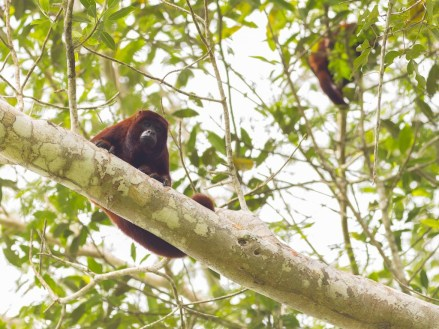 Howler monkeys will definitely make you jump out of the bed, by curiosity to see the source of the howls or by fear if you are unfamiliar to this sound