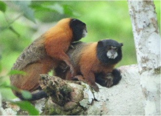 We spotted golden-mantled tamarins during a wildlife watching excursion in Yasuni National Park, Ecuadorian Amazon