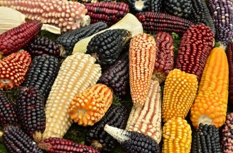 The main source of income is agriculture, here we see the variety of corn produced in the Sierra Norte, Oaxaca