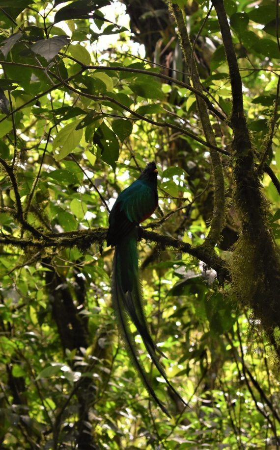A stunning resplendent quetzal, seen while hiking the Monteverde cloud forest in Costa Rica