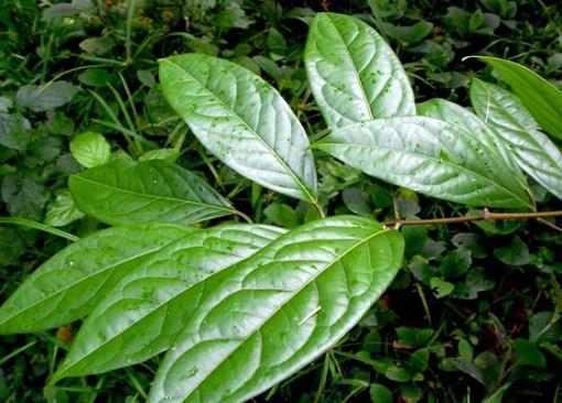 chacruna leaf.jpg