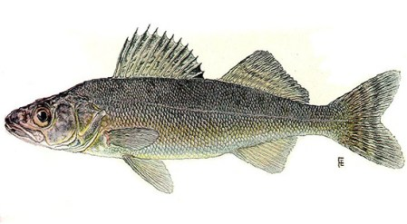 Blue Pike/Blue Walleye. An extinct subspecies related to the yellow perch.