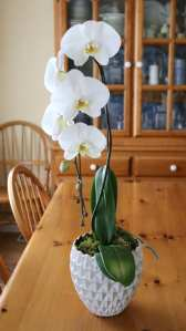 orchid, white, flowers, floral