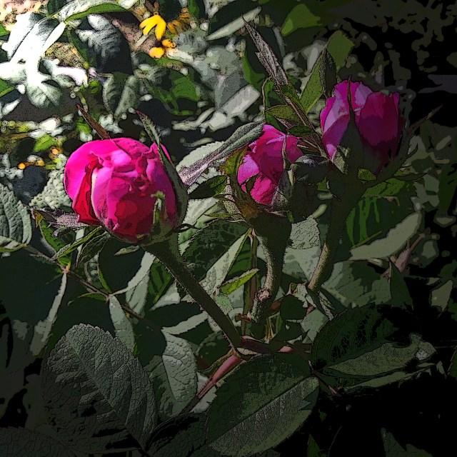Rose de Rescht - purchased at Harlequin's Gardens in Boulder.
