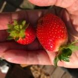 StrawberriesHandAug2017