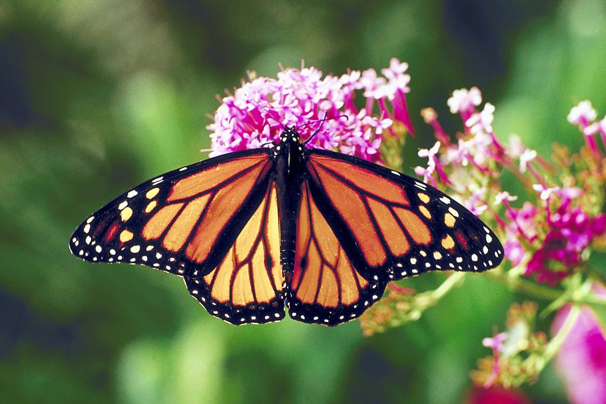 Keystone Think Tank Issues New Monarch Butterfly
