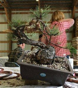 Ponderosa Pine Bonsai