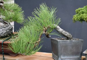Ponderosa Pine 2019 September